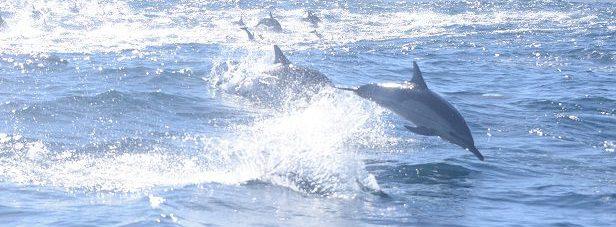 Common Dolphins (Delphinus delphis) au large de la péninsule du Cap, Province du CAP