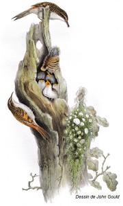 Grimpereau des bois_John Gould