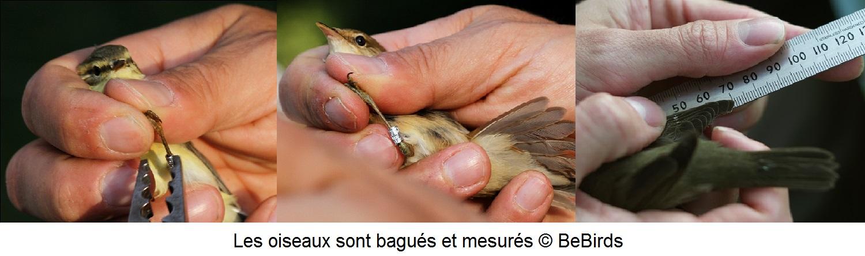 Les oiseaux sont mesurés et bagués_BeBirds
