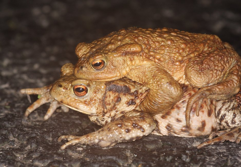 Crapaud-commun-couple