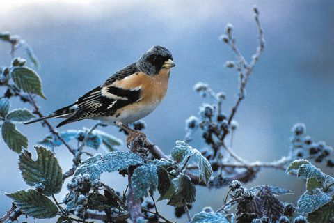 pinson du nord oiseau